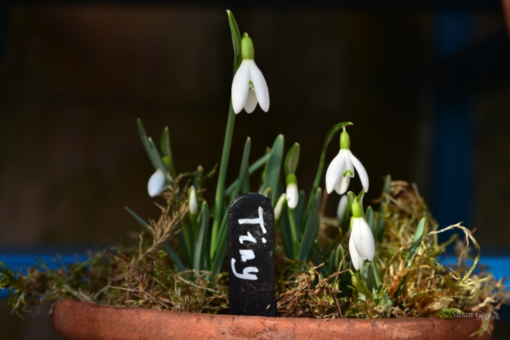 Susan Guy_Calke Abbey_Auricula Theatre_Snowdrop_Tiny_10.02.16_1 c